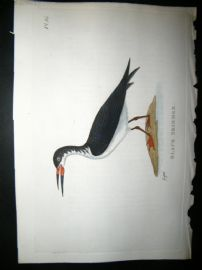 Shaw C1800's Antique Hand Col Bird Print. Black Skimmer